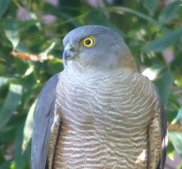 Sparrowhawk square crop